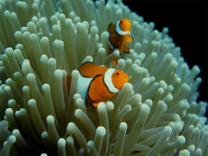 Clown_Fish